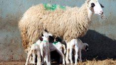 Koyun altız doğurdu