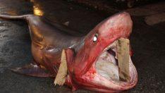 Dev köpekbalığı yakalandı