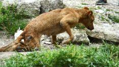 Bacakları tutmayan köpek yeni yürüteciyle koşuyor