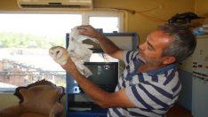 Yaralı peçeli baykuş kum ocağına sığındı