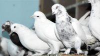 Güvercin Hırsızları Yakalandı.