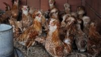 Nadir tavukları bütün dünyaya satıyor