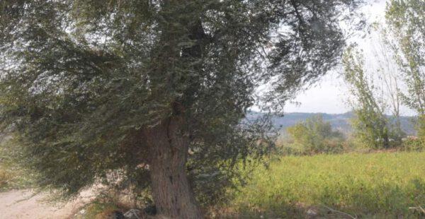 Yıldırım düşen söğüt ağacı kökünden kesildi