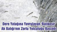 'BALIKESİR AK BALIĞI'NIN ZORLU YOLCULUĞU BAŞLADI