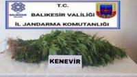 (40) kök kenevir bitkisi ele geçirildi