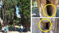 Balıkesir'de Anıt Ağaçlara Defineci Zararı