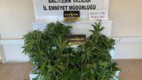 8 kök hint keneviri bitkisi ele geçirildi