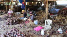 Balıkesir'in Hasadı Süren Tescilli Mor Soğanı Bu Yıl Da Yoğun İlgi Görüyor