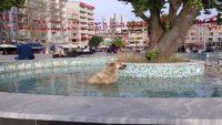 Sıcaktan bunalan köpek süs havuzuna girdi