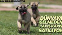 Bu köpekler kapış kapış…Dünyaya gelmeden satılıyor