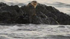 MarmaMarmara Denizi'nde su samuru görüldür