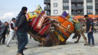 Burhaniye'de deve güreşlerini 15 bin kişi izledi