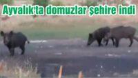 AYVALIK'TA DOMUZLAR İLÇE MERKEZİNE İNDİ