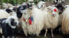 Koyun sayısı artarken, Keçi sayıları düşüyor
