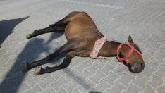 Kazada yaralanan at uyutuldu