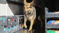 Köpekler koronavirüs tespit etmeye başladı