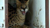 Nesli tükenmekte olan vahşi Serval kedisi koruma altına alındı
