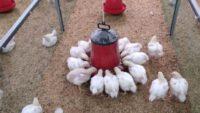 Bıldırcın yumurtası ve etlik piliç üretimi için de çalışmalarına başladı.