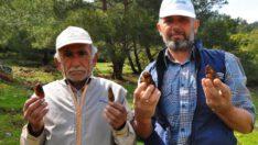 'Kuzugöbeği' mantarı, kilosu 200 liradan alıcı buluyor