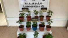 Kök hint keneviri bitkisi ele geçirildi