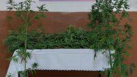 67 kök kenevir bitkisi ele geçirildi